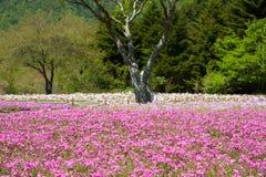 Shibazakura领域 免版税图库摄影