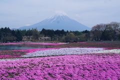 Shibazakura-Festival lizenzfreies stockbild
