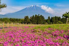 Shibazakura flower field with Mount Fuji san in the background i Stock Images