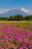 Shibazakura flower field with Mount Fuji san in the background i Stock Photos