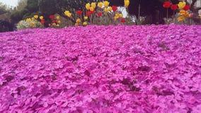 Shibazakura flowers bed. With tulips on backside Stock Photography