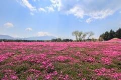 Shibazakura or Phlox subulata in pink carpet appearance. Fuji Shibazakura Festival,Fujikawaguchiko,Minamitsuru Yamanashi,Japan Royalty Free Stock Photo