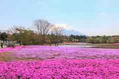 Shibazakura or Phlox subulata in pink carpet appearance. Fuji Shibazakura Festival,Fujikawaguchiko,Minamitsuru Yamanashi,Japan Royalty Free Stock Photos