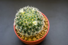 Shiedeana Mammillaria Στοκ Εικόνα