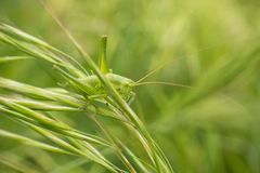 Shield-backed Katydid on grass leaves Royalty Free Stock Photos