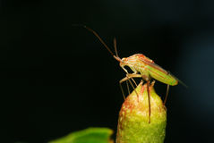 Shield bug Royalty Free Stock Image