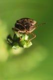 Shield bug Stock Photography