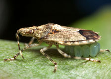 Shield bug. Guarding its young Stock Photography