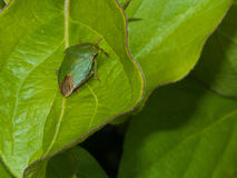 Shield bug.  Royalty Free Stock Photography