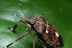 Shield Bug Royalty Free Stock Photos
