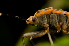 Shield bug Royalty Free Stock Images