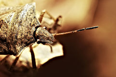Shield Bug aka Stink Bug on Leaf Royalty Free Stock Photo