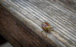 Shield Bug. Colourful insect. Up close royalty free stock photography