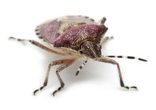 Shield bug, Dolycoris baccarum Stock Images