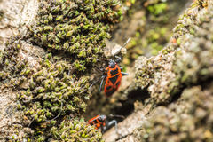 Shield Bug (Graphosoma Lineatum) Stock Images