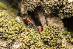 Shield Bug (Graphosoma Lineatum) Stock Images