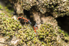 Shield Bug (Graphosoma Lineatum) Stock Photo