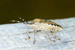 Shield bug / Hemiptera sp. Royalty Free Stock Image