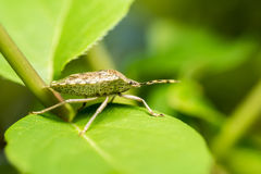 Shield Bug Insect Macro Stock Photo