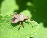 Shield bug on a leaf Stock Images