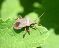 Shield bug on a leaf. Brown shield bug on a leaf Superfamily Pentatomoidea Stock Images