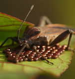 Shield bug look after the eggs Royalty Free Stock Photos