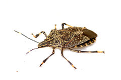 Shield bug macro. Shot on white background Stock Images