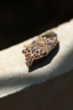 Shield bug macro Royalty Free Stock Photography