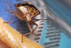 Shield Bug royalty free stock photo