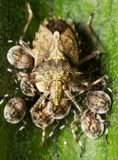 Shield bug. Nurturing young bugs on a leaf Royalty Free Stock Photo