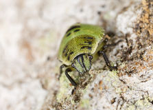 Shield bug nymph sitting on wood Stock Photography