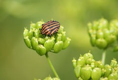 Shield bug on the plant Royalty Free Stock Image