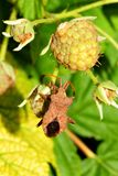 Shield-Bug on Raspberry Royalty Free Stock Photo
