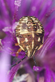 Shield bug sitting on thistle Stock Photo