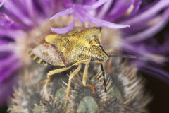 Shield bug sitting on thistle Stock Images