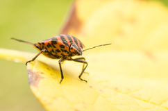 Shield Bug Or Stink Bug Insect Macro Royalty Free Stock Images