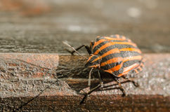 Shield Bug Or Stink Bug Insect Macro Royalty Free Stock Photos