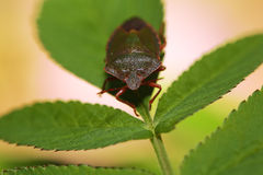 Shield Bug Or Stink Bug Stock Images