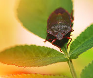 Shield Bug Or Stink Bug Stock Photography