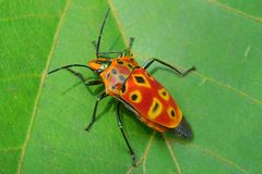 Shield bug on a leave stock image