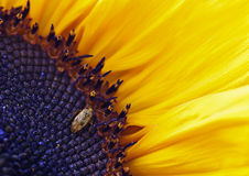 Shield bug on a sunflower stock images