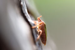 Shield Bug On A Tree Royalty Free Stock Image