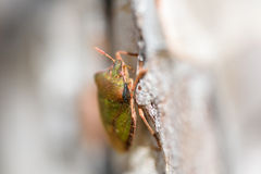 Shield Bug On A Tree Stock Photography