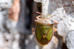 Shield Bug On A Tree Royalty Free Stock Images
