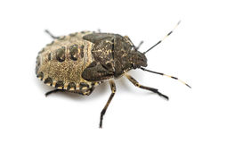Shield Bug, Troilus luridus Stock Photography