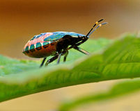 Shield Bug Troilus luridus Stock Image