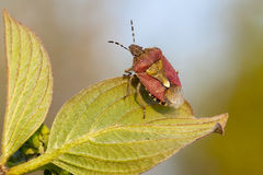 Shield bug tuning Royalty Free Stock Photos