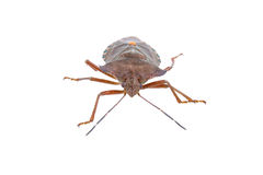 Shield bug on a white background Royalty Free Stock Image