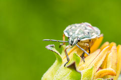 Shield Bug On Yellow Flower Royalty Free Stock Photo