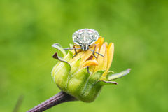 Shield Bug On Yellow Flower Royalty Free Stock Photography